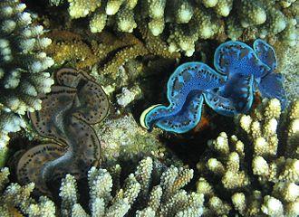 Maxima clam - Image: 2 Tridacna gigas