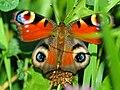2 great eyes - Flickr - HaPe Gera.jpg