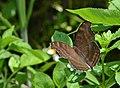 303黑擬蛺蝶11(游釗敏攝) (31609822662).jpg