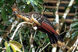 4 day trip to La Selva Lodge on the Napo River in the Amazon jungle of E. Ecuador - Hoatzin (Opisthocomus hoazin) - (26261390363).jpg