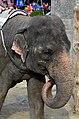 50 Jahre Knie's Kinderzoo - Elephas maximus 2012-10-03 15-37-17.JPG