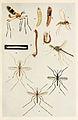 58-Indian-Insect-Life - Harold Maxwell-Lefroy - Nemocera.jpg