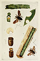 78-Indian-Insect-Life - Harold Maxwell-Lefroy - Megachile-anthracina.jpg