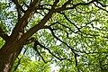 80-382-5010 Kyiv Pechersk Oak DSC 8285.jpg
