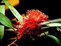 A@a flowers (eucalyptus) - panoramio (3).jpg