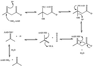 Acetoacetate decarboxylase - Image: AAD final mech