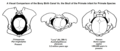 A Visual Comparison of the Pelvis and Bony Birth Canal Vs. the Size of Infant Skull in Primate Species.png