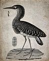 A bittern and one of its feathers. Etching. Wellcome V0022378ER.jpg