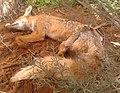 A dead fox.jpg