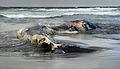 A dead whale at Ocean Beach.jpg