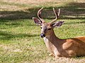 A deer in Ross Bay Cemetery, Victoria, British Columbia, Canada 10.jpg