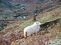 A ewe in upper Cwm-Llinau - geograph.org.uk - 1095348.jpg