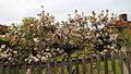 A fence and flowering tree at Matching Tye, Essex, England.jpg