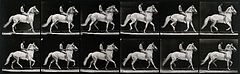 A horse walking. Photogravure after Eadweard Muybridge, 1887 Wellcome V0048735.jpg