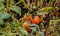 A local Tomato's farm in Kigoma.jpg