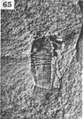 A monograph of the terrestrial Palaeozoic Arachnida of North America photos 60-69 65.png
