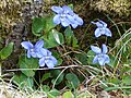 A posy of violets - geograph.org.uk - 165716.jpg