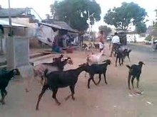 ملف:A video on goats going to home.ogv