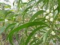 Acacia implexa leaves 1.jpg