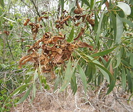 Acacia leptocarpa foliage and pods.jpg