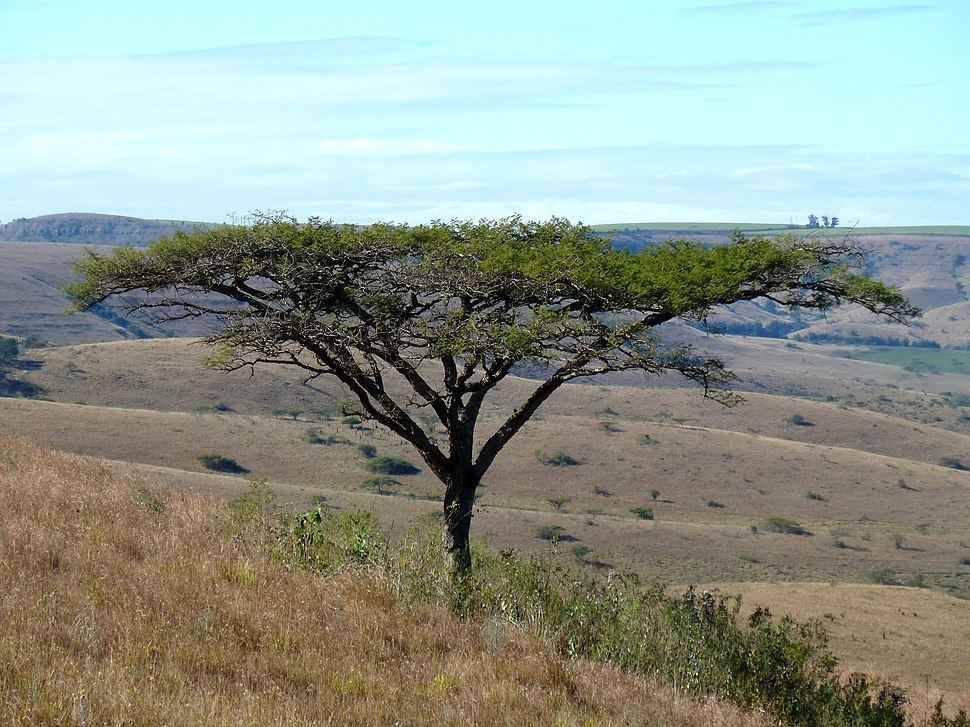Acacia sieberiana var woodii, habitus, Melmoth, a