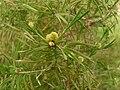 Acanthocarpus preissii.jpg