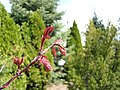 Acer palmatum (33876517765).jpg