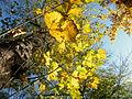 Acer pseudoplatanus (6).JPG