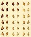 Achatinellen-Fauna der Sandwich-Insel Molokai nebst einem Verzeichnis der übrigen daselbst vorkommenden Land- u. Süsswassermollusken (1906) (16744579006).jpg