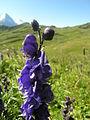 Aconitum napellus flowers.jpg