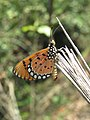 Acraea violae - Tawny Coster butterfly at Mayyil 2018 (6).jpg