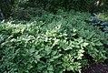 Actaea racemosa 6zz.jpg