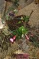Adenium obesum, Conservatoire botanique national de Brest 05.jpg