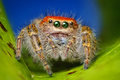 Adult female Cardinal Jumper (Phidippus cardinalis) by Thomas Shahan.png