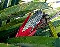 Aechmea maculata - Marie Selby Botanical Gardens - Sarasota, Florida - DSC01694.jpg