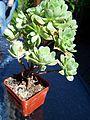 Aeonium Castello Paivae from BBC Gardeners World Birmingham (4723392613).jpg