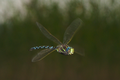 Aeshna juncea hovering 3.png