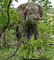 African Elephant (Loxodonta africana) bull browsing ... - Flickr - berniedup.jpg