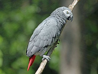 Papagáj sivý žako