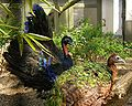 Afropavo congensis -Antwerp Zoo -pair-8a.jpg