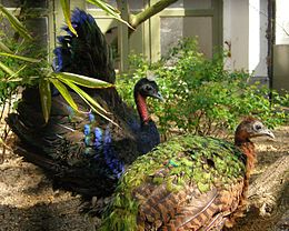 Afropavo congensis -Antwerp Zoo -pair-8a