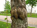 Agalla por hongos - Tumoracion en Prunus Sp (14007556191).jpg