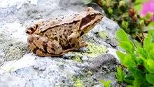 Датотека:Agile frog (Rana dalmatina) in Romania.webm