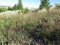 Agrostis stolonifera (7641697632).jpg