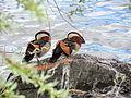 Aix galericulata - Seefeldquai 2013-05-18 16-36-03 (P7700).JPG