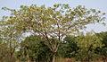 Albizia lebbeck (Siris) in Hyderabad W IMG 7167.jpg