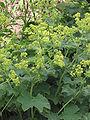 Alchemilla mollis (Fraaie vrouwenmantel bloeiwijze).jpg