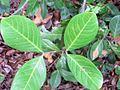 Alectryon coriaceus Mt Annan.JPG