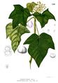 Aleurites moluccanus Blanco1.220.png