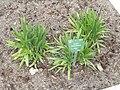 Allium carolinianum - Copenhagen Botanical Garden - DSC07666.JPG